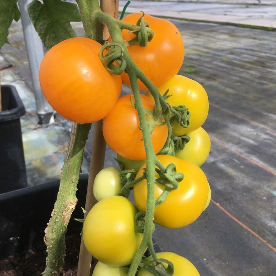 Tomato Golden Sunrise